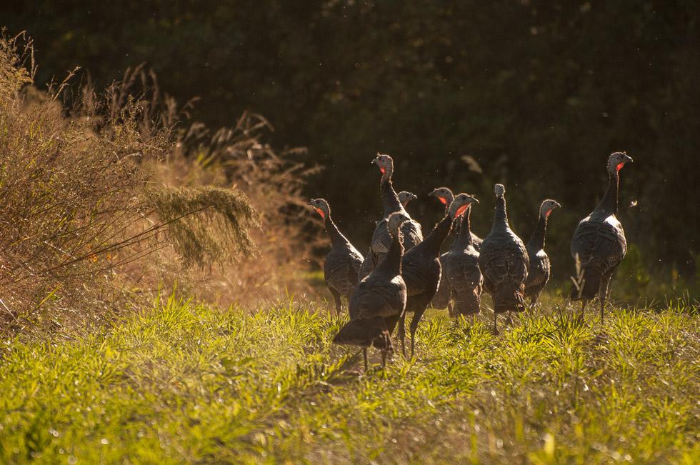 david_mandel_photography_wild_turkeys_south_carolina